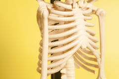 Rib cage of a skeleton. On yellow background stock photography
