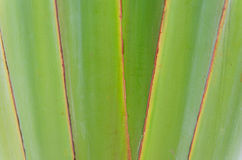 Ribbed leaf or Scientific name is Travellers palm Royalty Free Stock Image