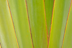 Ribbed leaf or Scientific name is Travellers palm Royalty Free Stock Photography
