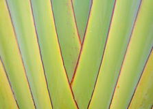 Ribbed leaf or Scientific name is Travellers palm Royalty Free Stock Photos