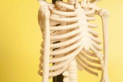 Ribbenkast van een skelet stock fotografie