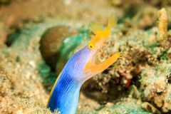 Ribbon Eel Royalty Free Stock Photos