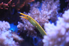 Ribbon eel. The detail of ribbon eel Royalty Free Stock Photo