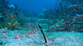 Ribbon eel in the sandy bottom stock video footage