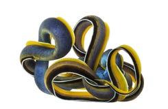 Ribbon Eel upside down, Rhinomuraena quaesita Royalty Free Stock Image