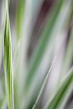 Ribbon Grass Abstract Background Stock Photo