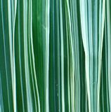 Ribbon Grass Background. Ribbon grass leaves laid out vertically on a flat surface royalty free stock images