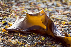 Ribbon Kelp on beach Stock Image