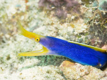 Ribbon Moray Stock Photography