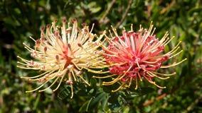 Ribbon Pincushion Flower Stock Images