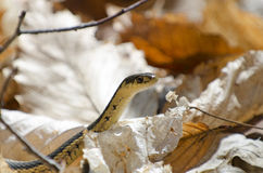 Ribbon snake in autumn leaves Stock Photos