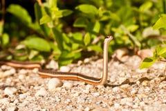 Ribbon Snake Royalty Free Stock Image