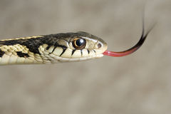 The ribbon snake smelling. Stock Photos