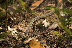 Ribbon snake in the underbrush of Corkscrew Swamp in Florida. Stock Photos
