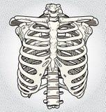 ribcage Стоковые Фотографии RF