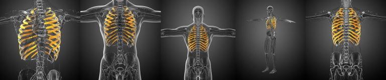 ribcage Imagens de Stock