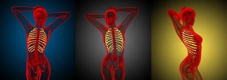 ribcage Foto de Stock
