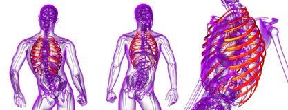ribcage Foto de Stock Royalty Free