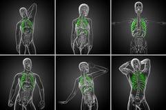 ribcage Fotografia de Stock Royalty Free