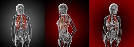 ribcage Imagens de Stock Royalty Free