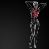 Ribcage bone Royalty Free Stock Image