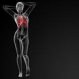 Ribcage bone Stock Photography