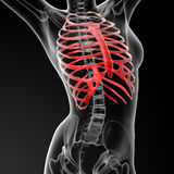 Ribcage bone Stock Image