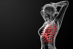Ribcage bone Stock Images