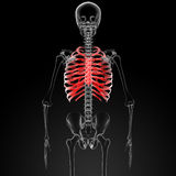 Ribcage Stock Images