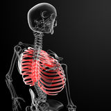 Ribcage Royalty Free Stock Photo