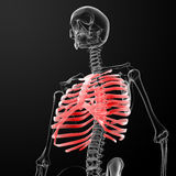 Ribcage Royalty Free Stock Photography