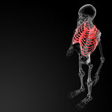 Ribcage Royalty Free Stock Image