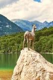 Ribcev Laz,斯洛文尼亚- 2017年7月04日:Goldhorn Zlatorog鹿古铜色雕象在Bohinj湖旁边的在特里格拉夫峰 库存图片