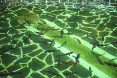 Ribeiro Frio村庄的鳟鱼农场在马德拉岛葡萄牙的海岛上的 免版税库存照片