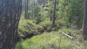 Ribeiro na floresta polonesa Foto de Stock