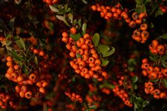 Ribes Royaltyfri Foto