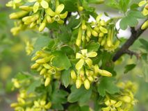 Ribes aureum yellow currant, clove currant, pruterberry and buffalo currant yellow flowers Stock Photos