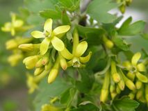 Ribes aureum yellow currant, clove currant, pruterberry and buffalo currant yellow flowers Royalty Free Stock Photography