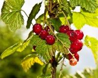 Ribes Berry Macro fotografia stock