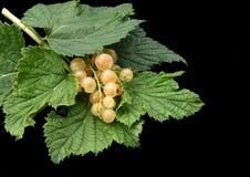 Ribes bianco. immagini stock