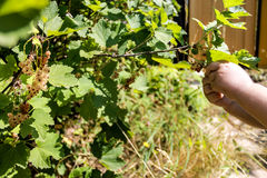 Ribes bianco Fotografie Stock