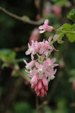 Ribes branch close-up. Sith flowers Stock Photo