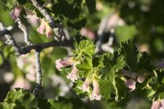 Ribes cereum. Or wax current royalty free stock photo