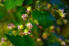 Ribes del fiore Fotografie Stock Libere da Diritti