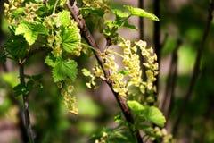 Ribes di fioritura della primavera Fotografia Stock Libera da Diritti