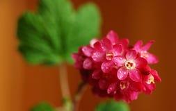Ribes di fioritura rosso Fotografie Stock