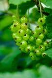 Ribes di Uripe Fotografie Stock