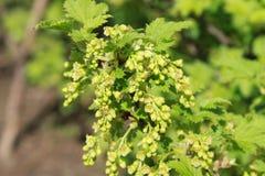 Ribes in fioritura Immagini Stock