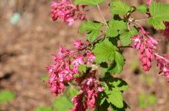 Ribes fleurissant rouge de groseille Photo libre de droits