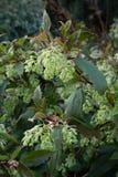 Ribes Laurifolium Foto de archivo libre de regalías